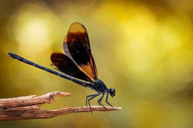 Wizerunek euphaea masoni dragonfly na suchych gałąź na natury tle. owad zwierząt