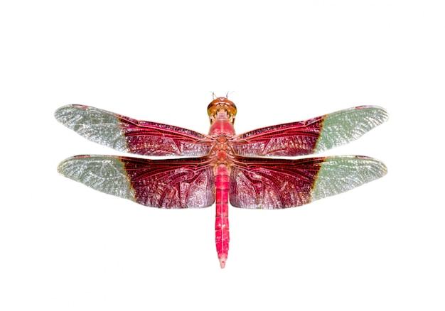 Wizerunek gigantycznego męskiego sułtanu dragonfly odizolowywający na białym tle (camacinia gigantea)