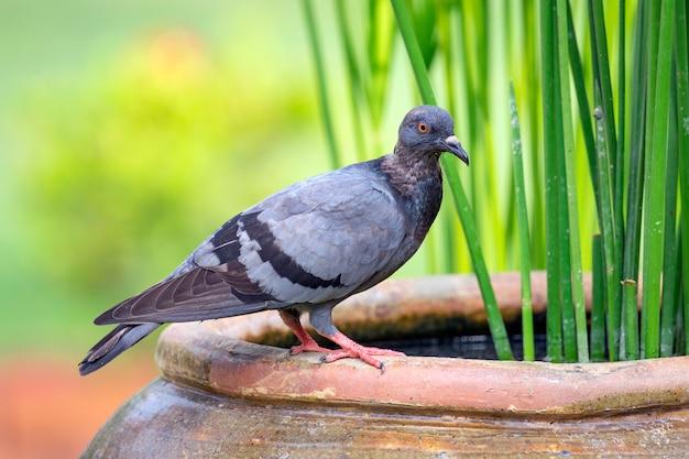 Wizerunek gołębia w naturze. ptak. zwierząt.