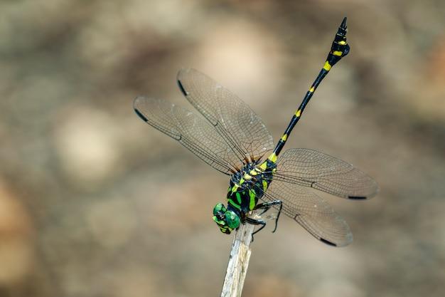 Wizerunek gomphidae dragonfly na gałąź