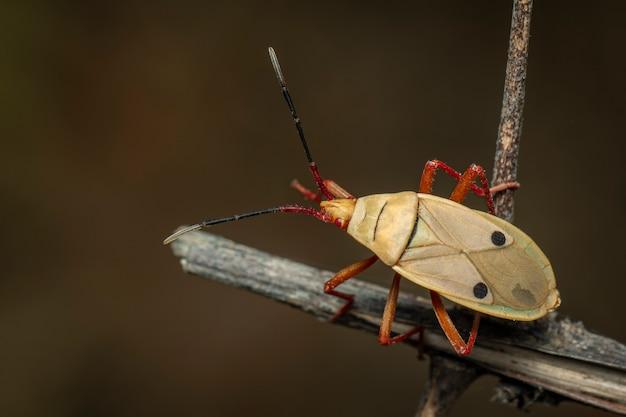 Wizerunek kapoka pluskwa na gałąź (probergrothius nigricornis). owad. zwierzę.