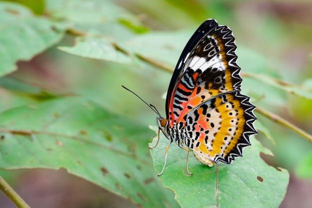 Wizerunek lamparta lacewing motyl na zielonych liściach. owad zwierząt.