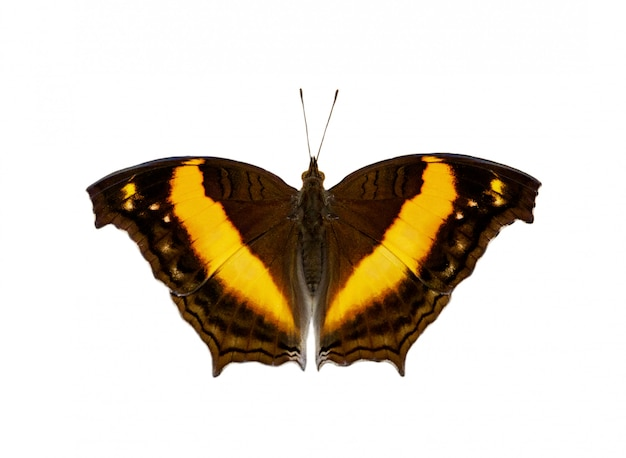 Wizerunek lurcher motyl odizolowywający na białym tle (yoma sabina vasuki)