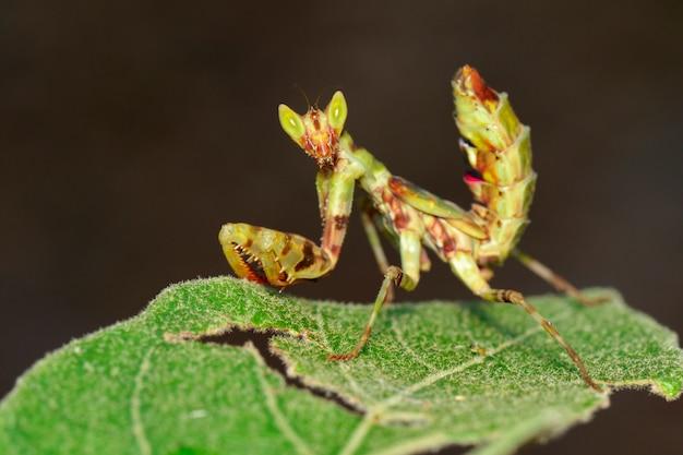 Wizerunek modliszka stoi na zielonym liściu na naturze. owad. zwierzę.