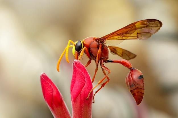 Wizerunek osy garncarskiej delta sp, eumeninae na kwiacie. owad zwierząt