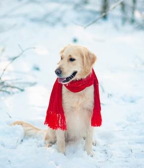 Wizerunek psa biały golden retriever w czerwonym szaliku
