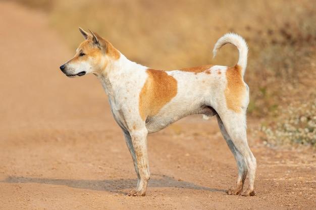 Wizerunek psa w paski brązowy i biały na charakter.