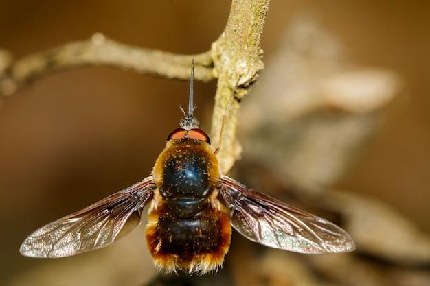 Wizerunek pszczoły lata lub bombylius major na suchych gałąź. owad. zwierzę.