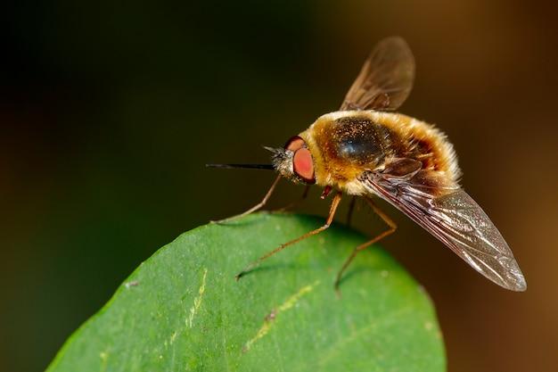 Wizerunek pszczoły lata lub bombylius major na zielonym liściu. owad. zwierzę.