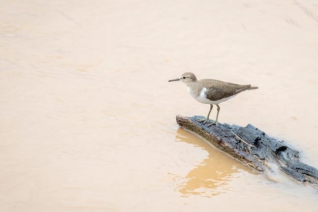Wizerunek ptaka sandpiper (actitis hypoleucos) szuka pożywienia na bagnach na tle przyrody. ptak. zwierząt.