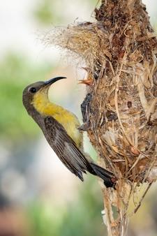 Wizerunek purpurowego sunbird żywieniowy dziecko ptak w ptaka gniazdeczku. ptak.