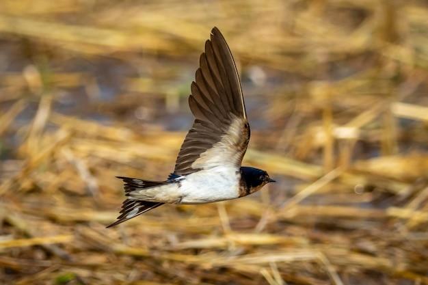 Wizerunek stajni dymówki latanie. ptak. zwierzę.