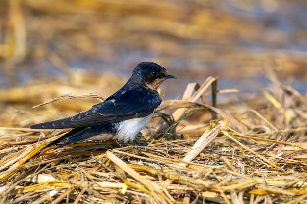 Wizerunek stajni dymówki ptak (hirundo rustica). ptak. zwierzę.