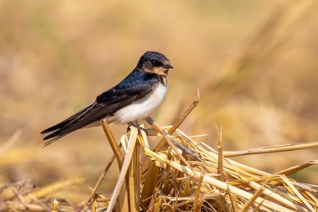 Wizerunek stajni dymówki ptak na naturalnym (hirundo rustica). ptak. zwierzę.
