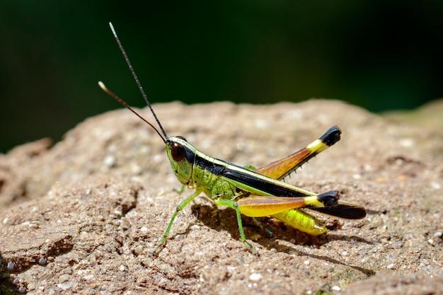 Wizerunek szarańczy z trzciny cukrowej na białej skale (ceracris fasciata). owad. zwierzę. caelifera., acrididae