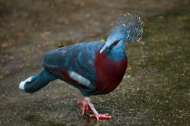 Wizerunek victoria koronowany gołąb na naturze. ptak. zwierząt.