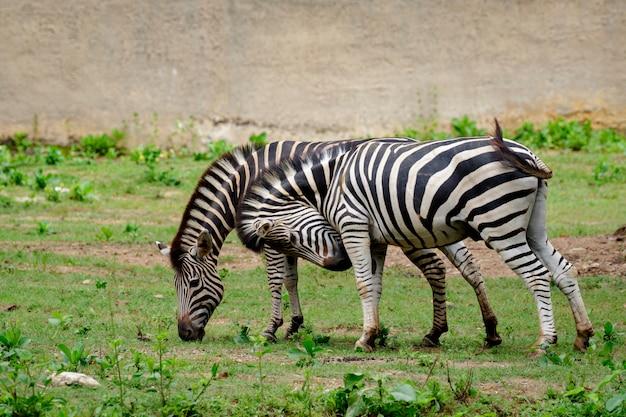 Wizerunek zebry na naturze. dzikie zwierzęta.
