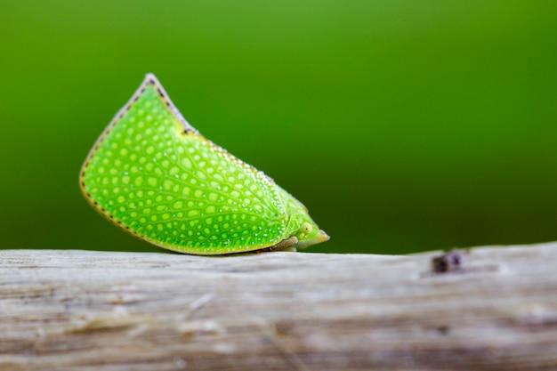 Wizerunek zielony planthopper na naturze (siphanta acuta). zwierzę