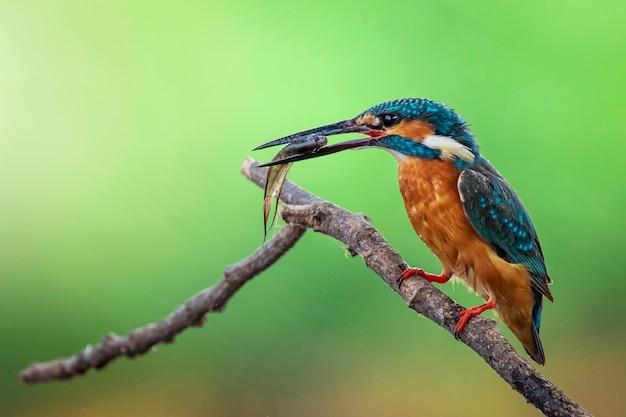 Wizerunek zimorodka zwyczajnego (alcedo atthis) trzyma rybę w pysku i umieszcza na gałęzi. ptak. zwierząt.