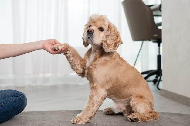 Właścicielka bawi się i trenuje cocker spaniela w domu, wsparcie trzymaniem łapy, przyjaźń z uroczym wiernym zwierzakiem, pies siedzi na dywanie, czas rodzinny