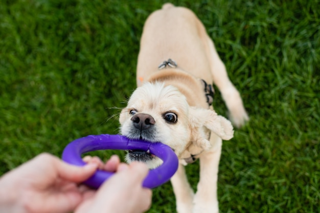 Właścicielka bawi się z psem w parku miejskim. kobieca ręka trzyma zabawkę.