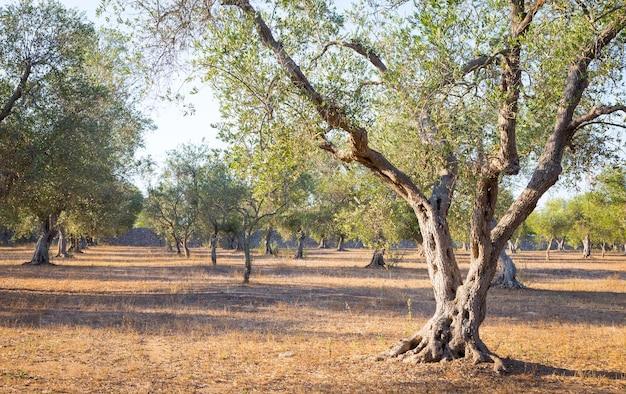 Włochy, apulia. stuletnie drzewo oliwne.