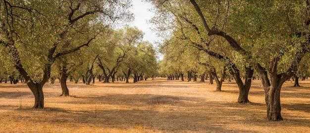 Włochy, region apulia, południe kraju. tradycyjna plantacja drzew oliwnych.