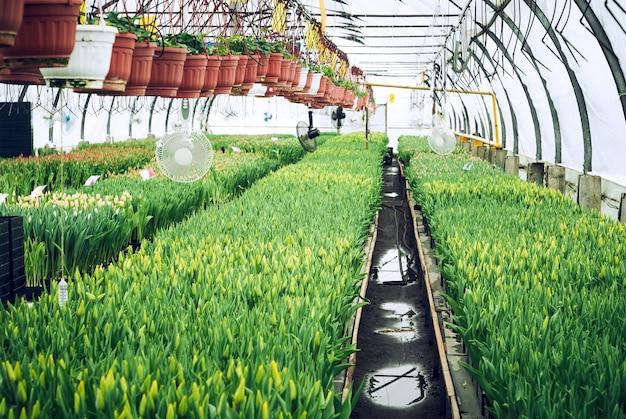 Wnętrze szklarni przemysłowej, w której uprawiane są tulipany i rośliny ampeliczne