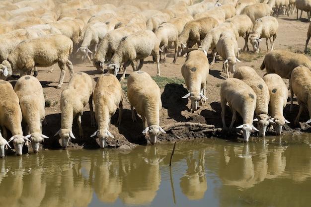 Woda pitna owiec na brzegu jeziora. pastwiska europy.