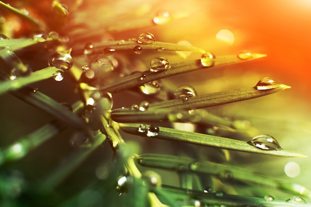 Woda spada po deszczu na gałęzie drzew iglastych