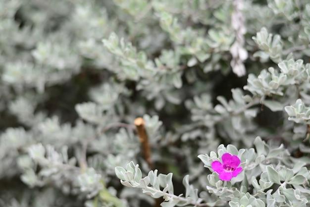 Woderful z barometer bush różowy kwiat i białe liście