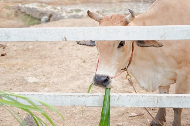 Wodny bizon je trawy w gospodarstwie rolnym
