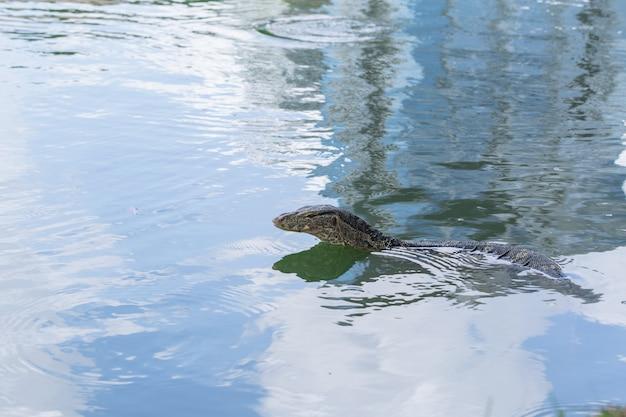 Wodny monitor lub tajlandia smoka zwierzęcy aligator w wodnym stawie