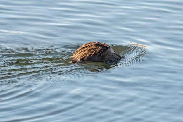 Wodny szczur dostający się do wody w parku naturalnym bagien ampurdan.