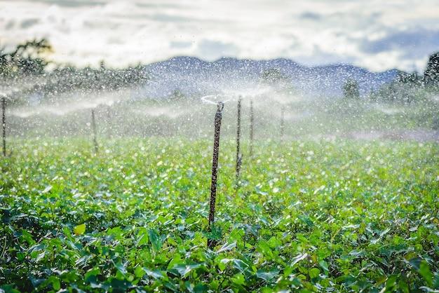 Wodny zraszacza system pracuje w zielonym jarzynowym ogródzie przy zmierzchem
