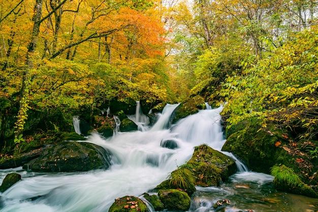 Wodospady w górskim strumieniu oirase w kolorowych liściach jesiennego lasu w oirase stream walking trail w oirase valley, park narodowy towada hachimantai, prefektura aomori, japonia ..
