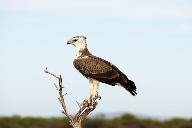 Wojenny orzeł w etosha parku narodowym, namibia. duży orzeł pochodzi z południowej afryki