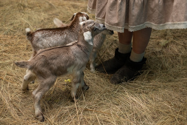 Wokół spódnicy tłoczą się małe kozy, czekające na nakarmienie