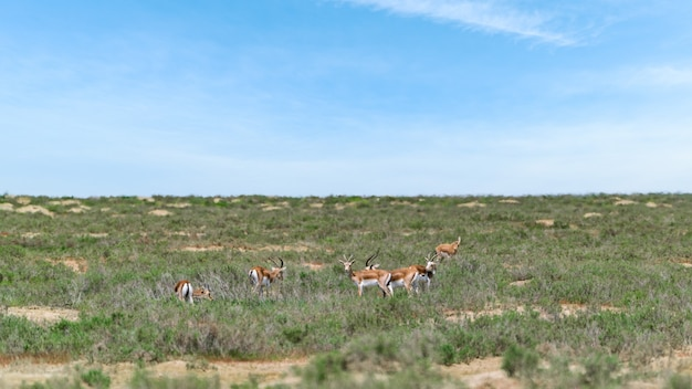 Wola gazela jeyran w polu. rezerwat dzikiej przyrody