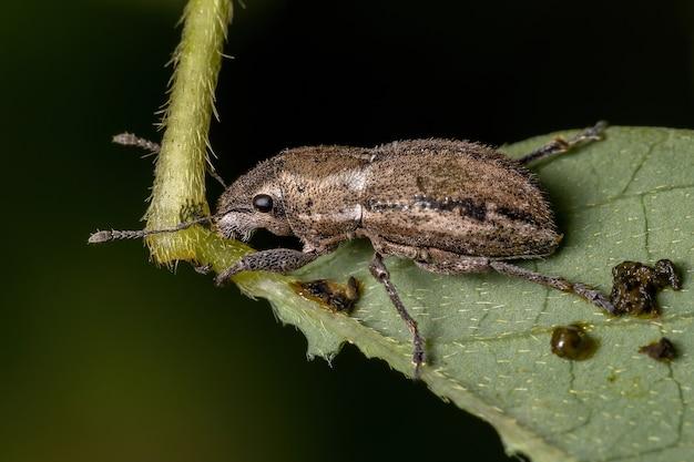 Wołkowiec szerokonosy z gatunku naupactus peregrinus