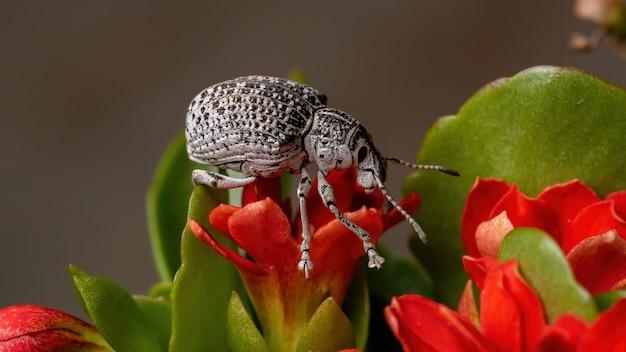 Wołowina szerokopyska z gatunku cydianerus latruncularius na czerwonym kwiatku