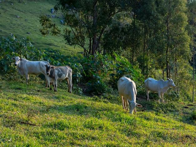 Woły żyjące swobodnie w zielonym polu