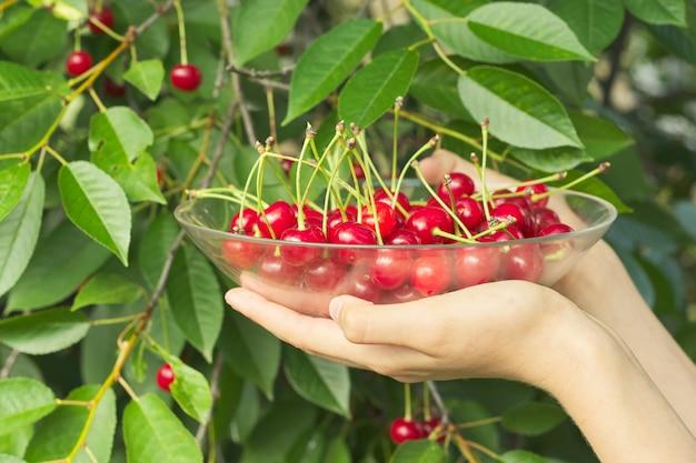 Womans ręce trzyma miskę dojrzałych świeżych wiśni czerwonych
