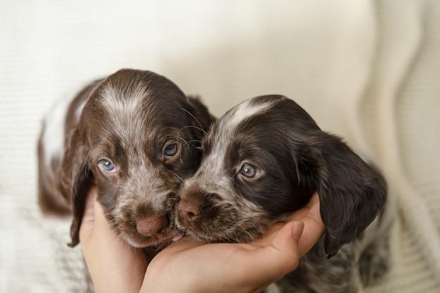Womans ręce trzymać twarz dwóch ładny rosyjski spaniel brązowy merle szczeniak psy na biały koc. opieka nad zwierzętami i przyjazna koncepcja. miłość i przyjaźń między człowiekiem a zwierzęciem.