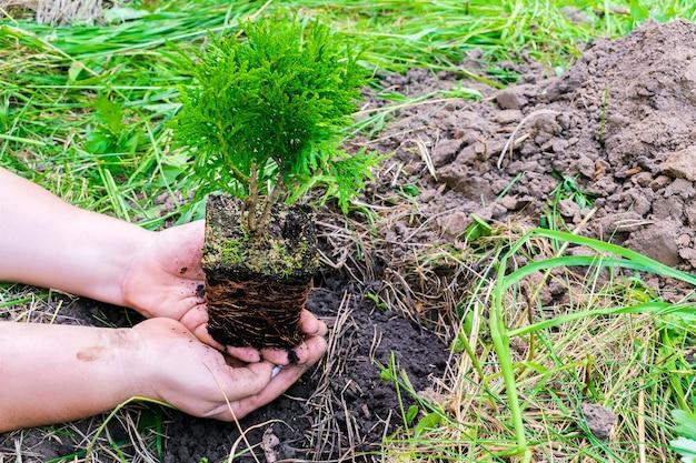 Womans ręce trzymając zielone małe drzewo iglaste kiełkować z doniczki z gleby, ziemi na tle przyrody trawa przygotowuje się do sadzenia w ogrodzie, lesie, parku. koncepcja ekologiczna, ekologiczna, ekologiczna.
