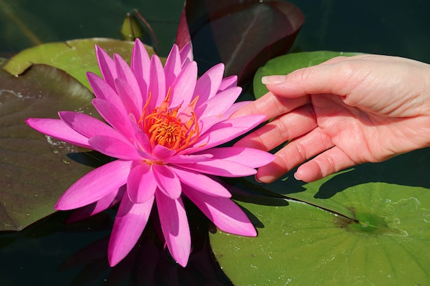 Womans ręka dotykająca wspaniałej żywej różowej lilii wodnej flammea z ostrożnością