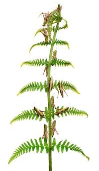 Woodland grasshopper - omocestus rufipes