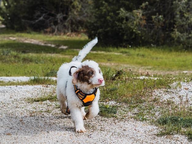 Woolly biały szczeniak spaceru na ścieżce w lesie. biały szczeniak z plamami na twarzy, ubrany w pomarańczową uprząż.