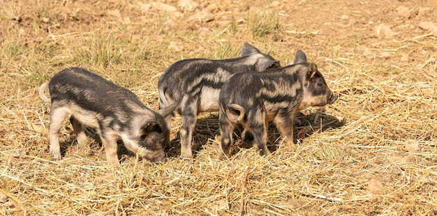 Wooly baby pigs in a farm