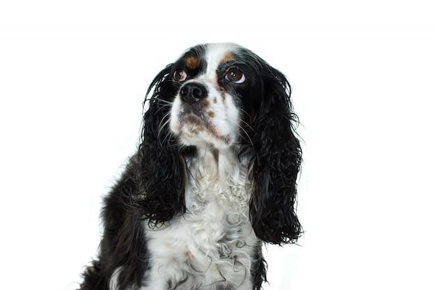 Worry dog. cavalier charler king posiedzenie i poszukuję. izolowane ponownie białe tło